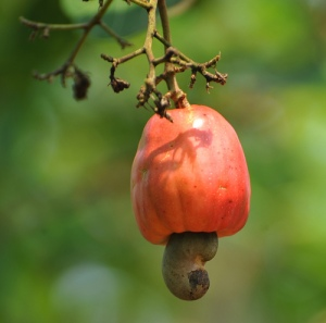The Cashew Apple
